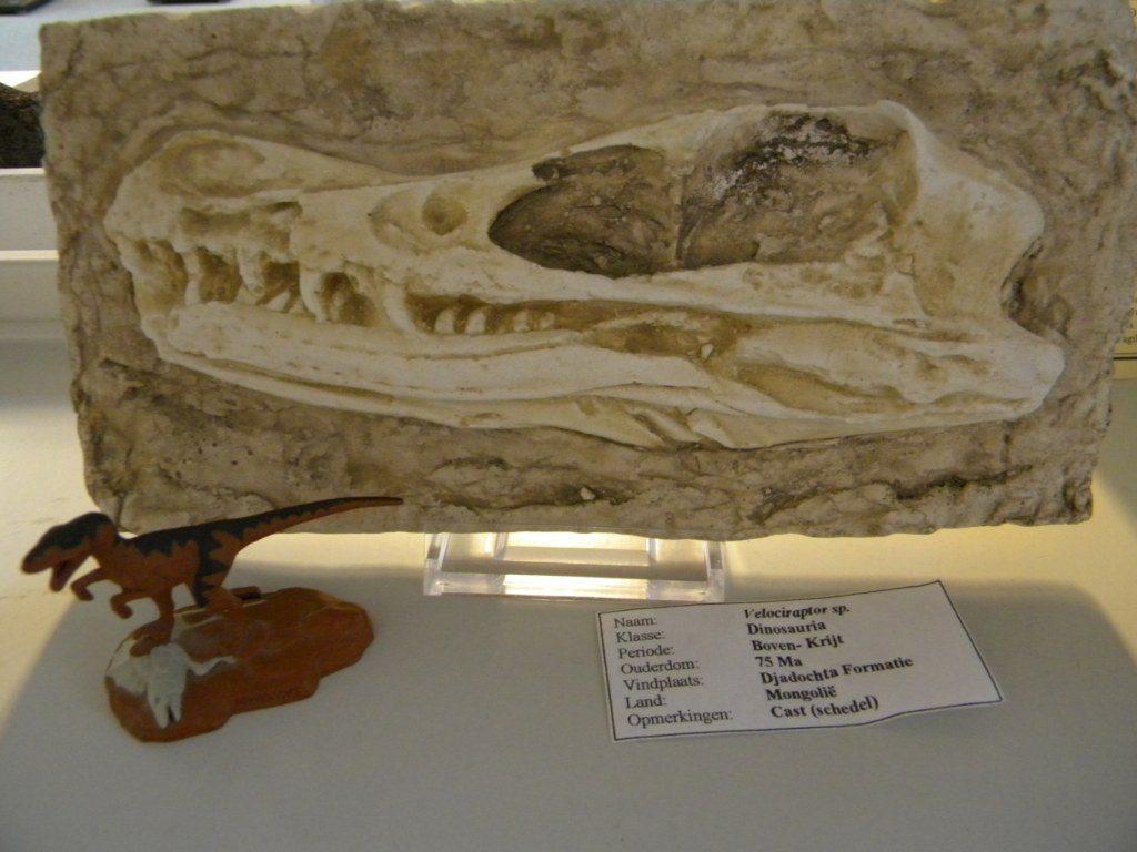 Velociraptor schedel